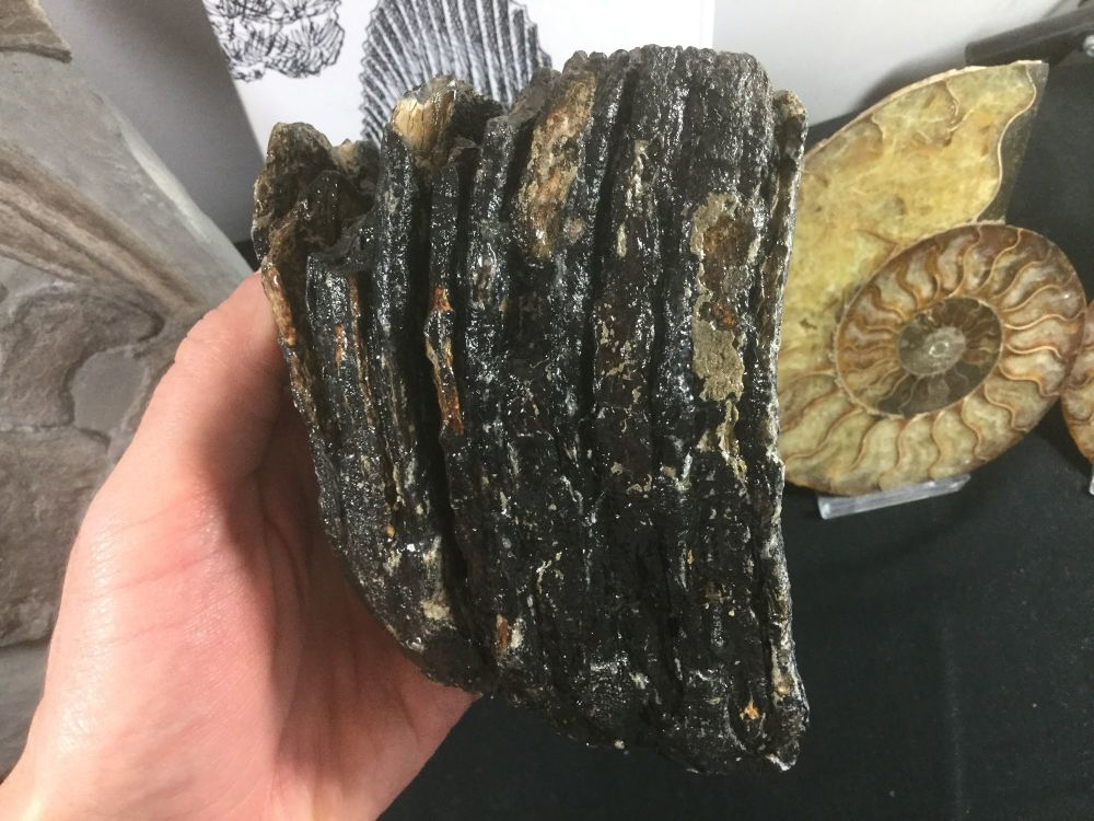 Woolly Mammoth Tooth #07