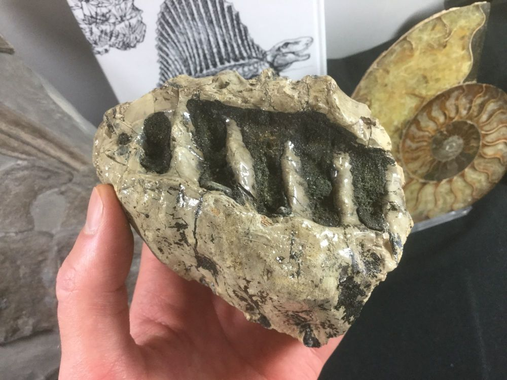 Woolly Mammoth Tooth #08