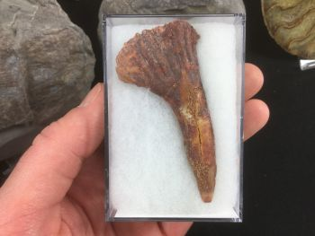 Onchopristis Tooth #17