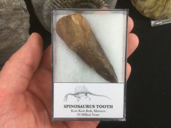 Spinosaurus Tooth - 2.38 inches #SP21