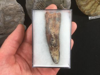 Spinosaurus Tooth - 2.81 inches #SP22
