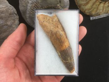 Spinosaurus Tooth - 3.19 inches #SP23