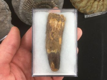 Spinosaurus Tooth - 2.75 inches #SP24
