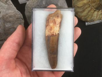 Spinosaurus Tooth - 2.88 inches #SP25