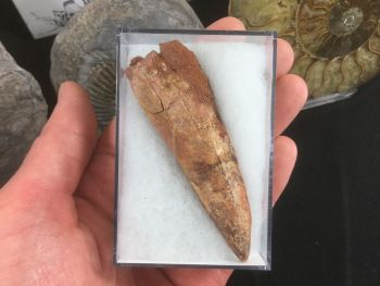 Spinosaurus Tooth - 3 inches #SP27