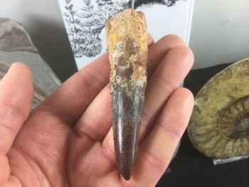 Spinosaurus Tooth (composite) - 3.63 inches #SP29