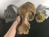 Woolly Mammoth Hip Bone
