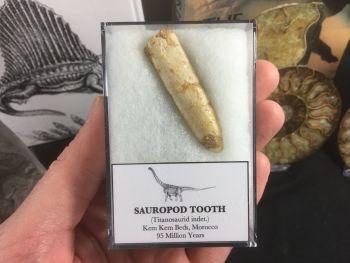Titanosaurid Sauropod Tooth #11