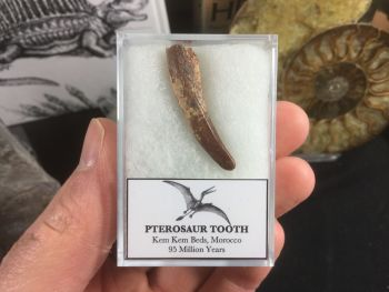 Pterosaur Tooth, Morocco #PT02