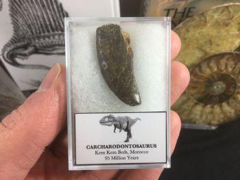 Carcharodontosaurus Tooth - 1.25 inch #CT12