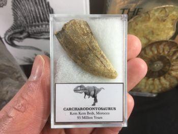 Carcharodontosaurus Tooth - 1.5 inch #CT15