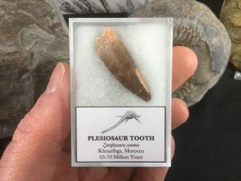 Plesiosaur Tooth #01