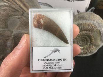 Plesiosaur Tooth #04