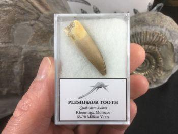 Plesiosaur Tooth #05