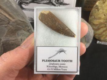 Plesiosaur Tooth #07