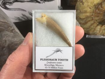Plesiosaur Tooth #08