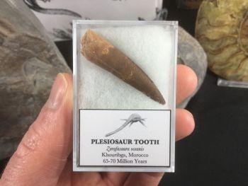 Plesiosaur Tooth #09