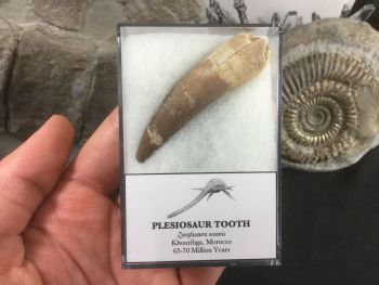 LARGE Plesiosaur Tooth (2.25 inch) #04