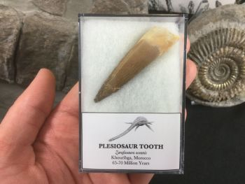 LARGE Plesiosaur Tooth (2.13 inch) #05