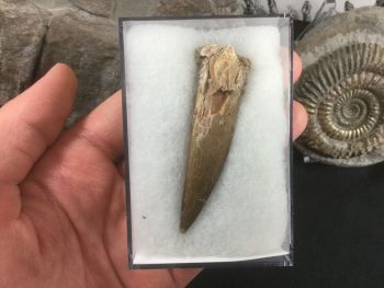LARGE Plesiosaur Tooth (2.44 inch) #06