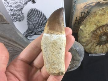Rooted Mosasaur Tooth (3.63 inch) #01