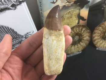 Rooted Mosasaur Tooth (3.75 inch) #04
