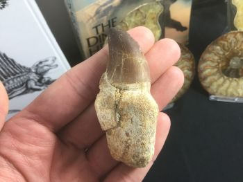 Rooted Mosasaur Tooth (2.88 inch) #05