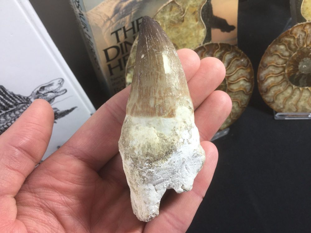 Rooted Mosasaur Tooth (3.75 inch) #08