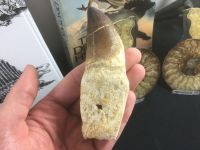 Rooted Mosasaur Tooth (4.13 inch) #09