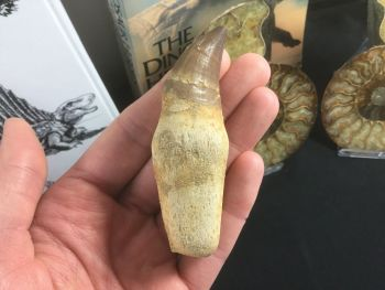 Rooted Mosasaur Tooth (3.38 inch) #10