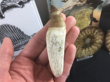 Rooted Mosasaur Tooth (3.63 inch) #11
