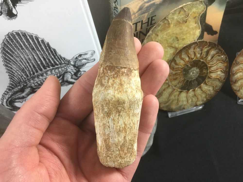 Rooted Mosasaur Tooth (4.13 inch) #12