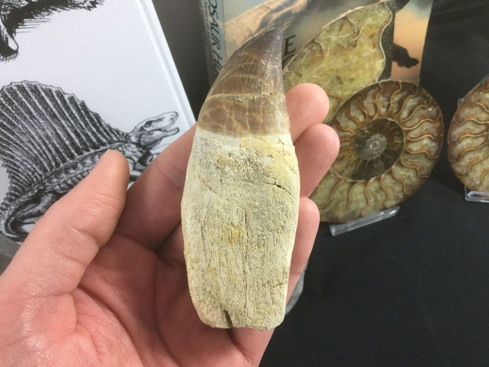 Rooted Mosasaur Tooth (4 inch) #16