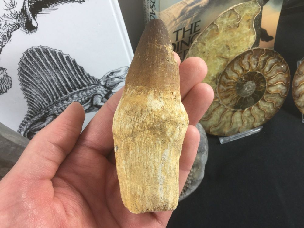 Rooted Mosasaur Tooth (4.19 inch) #17