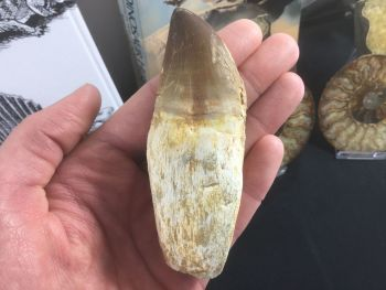 Rooted Mosasaur Tooth (4.13 inch) #19