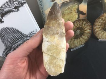 HUGE Rooted Mosasaur Tooth (5.25 inch) #01