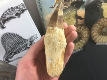 HUGE Rooted Mosasaur Tooth (5.38 inch) #01