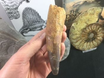 HUGE Spinosaurus Tooth - 5.38 inches #SP31