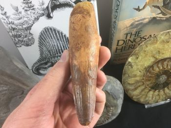 HUGE Spinosaurus Tooth - 4.88 inches #SP32