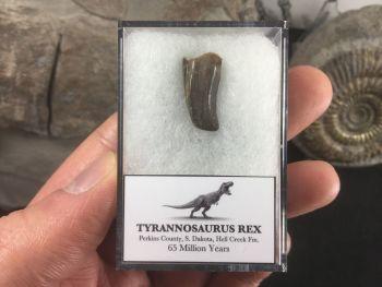 Tyrannosaurus Rex Tooth #11