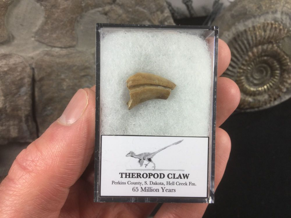 Theropod Claw, Hell Creek Formation