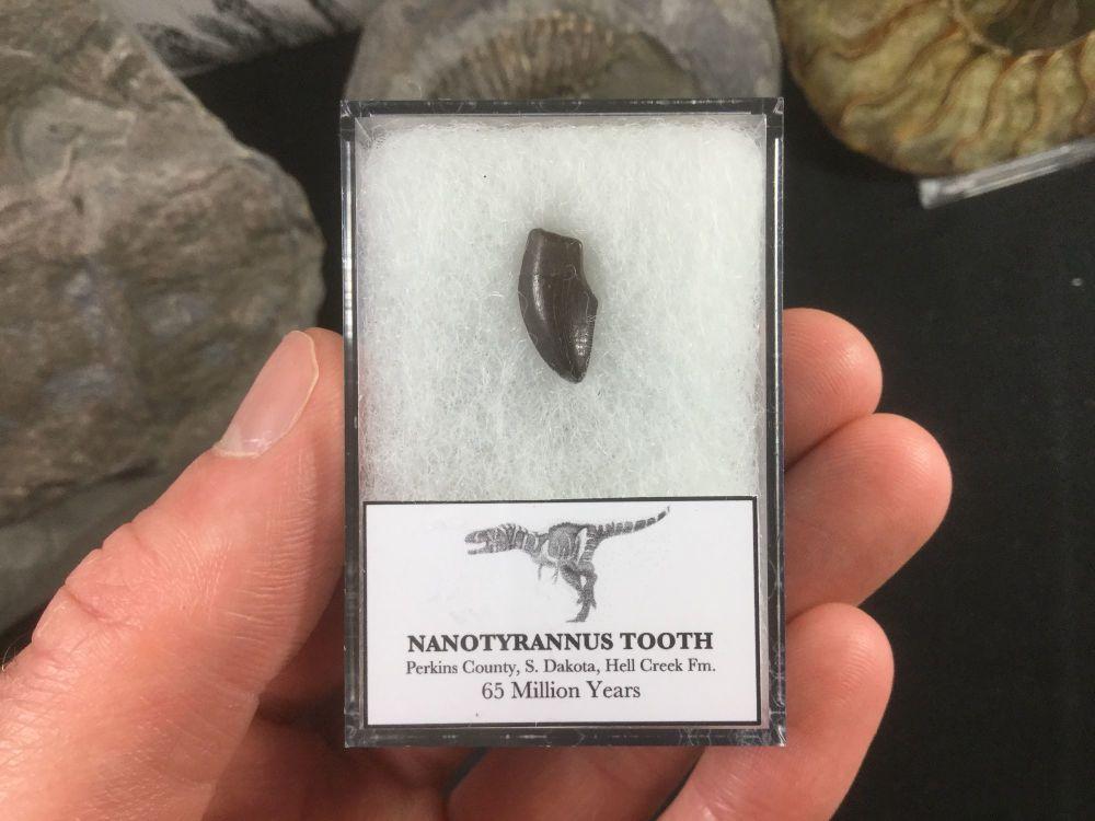 Nanotyrannus Tooth #02