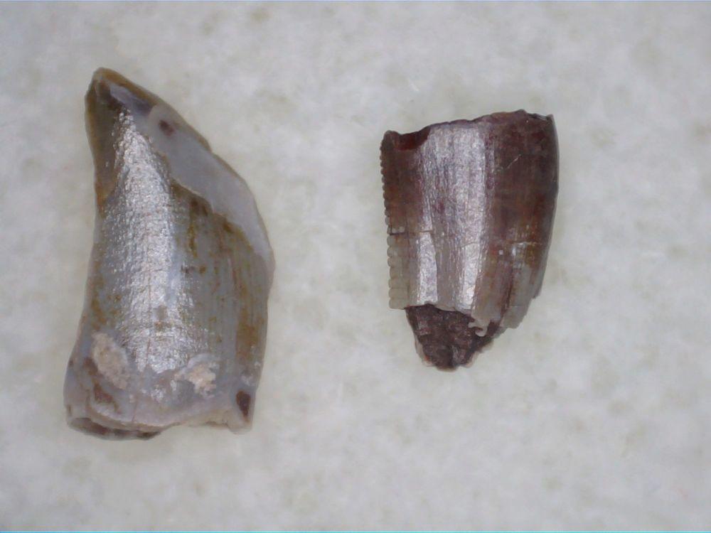 Coelophysis Teeth #02