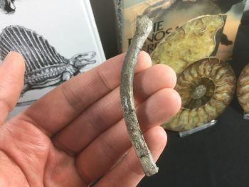 Plesiosaur Rib, South Wales #02