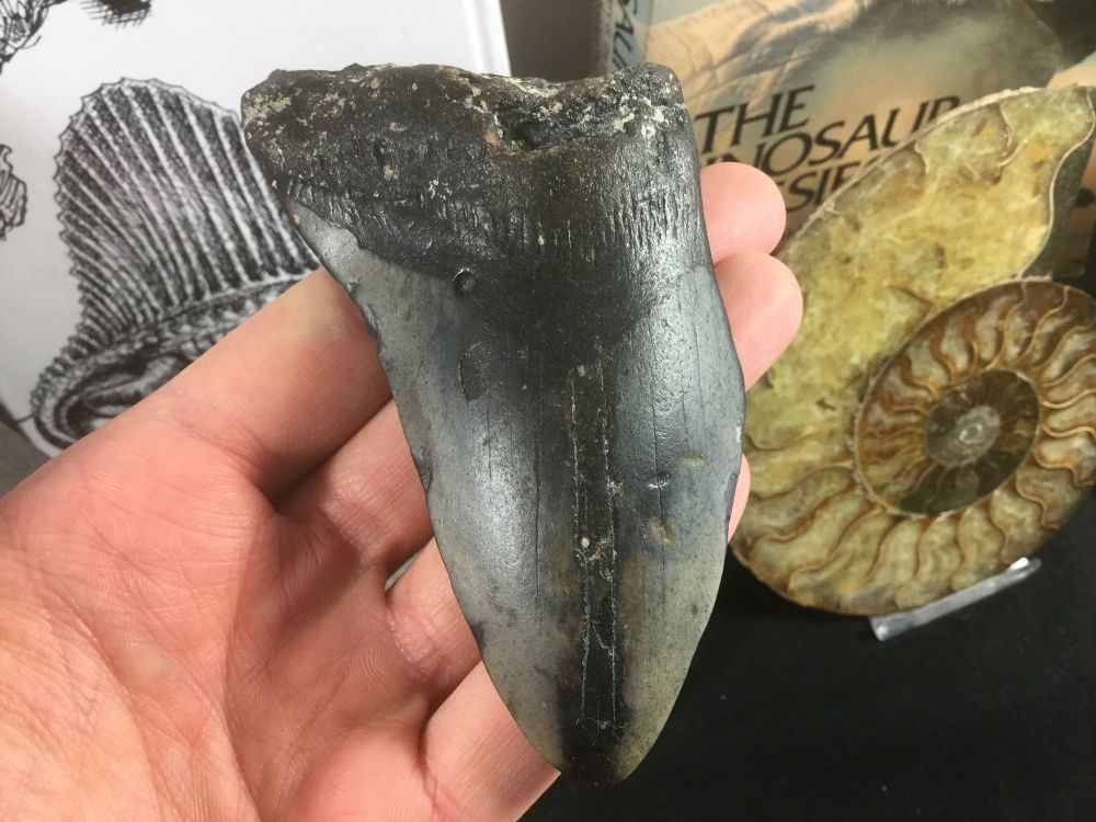 Megalodon Tooth - 4 38 inch #20