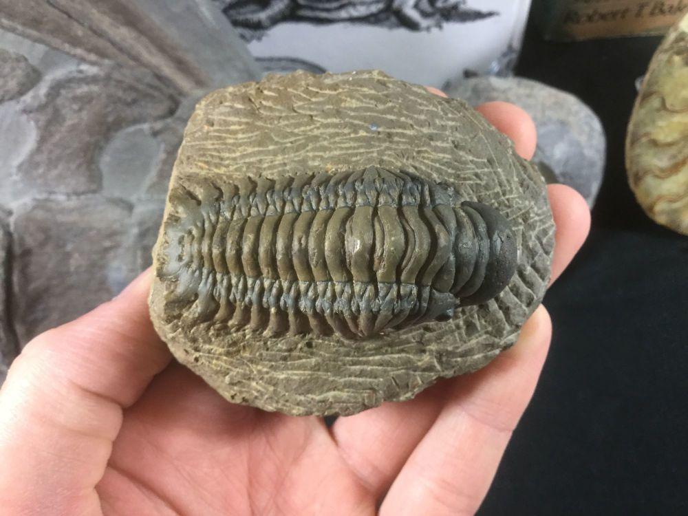 Crotalocephalus Trilobite #03