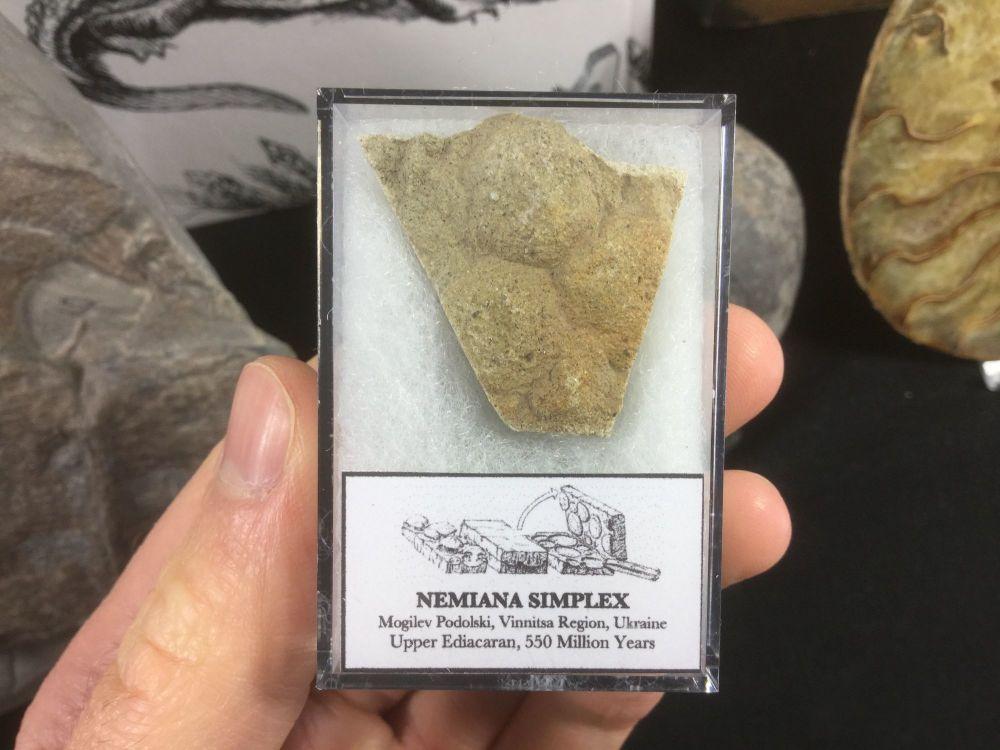 Nemiana simplex #01