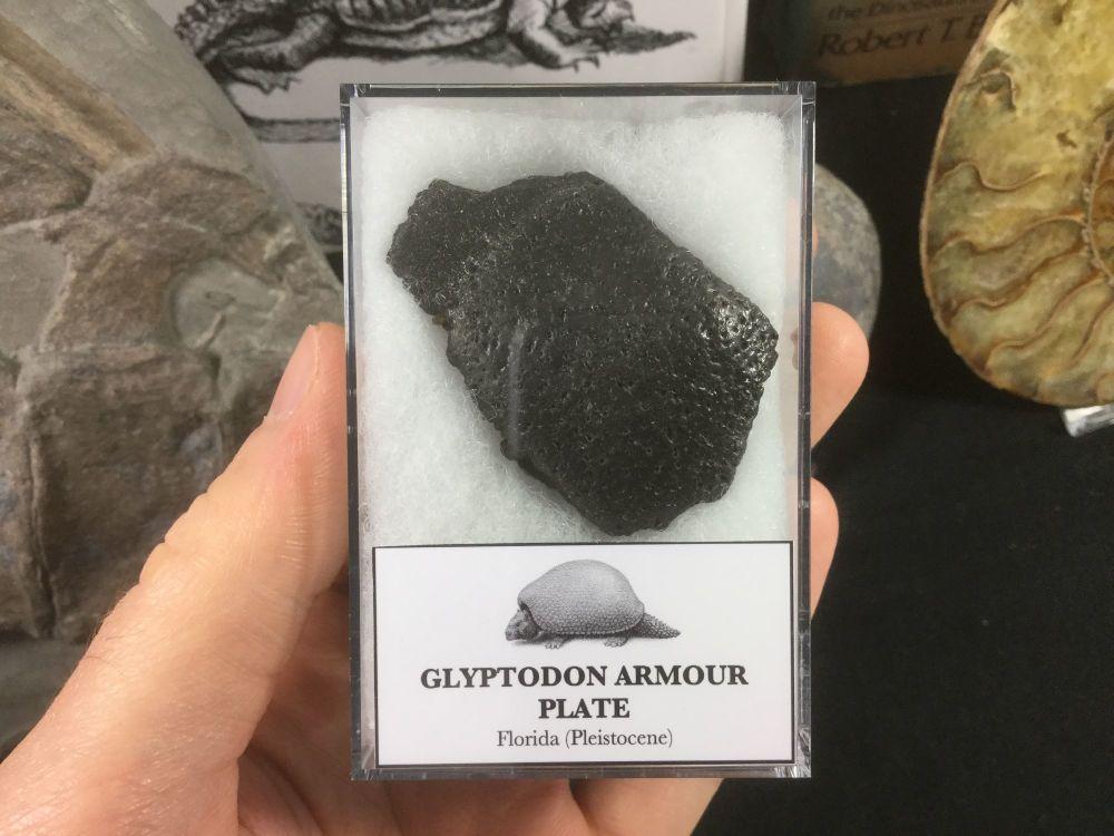 Glyptodon Plate #05