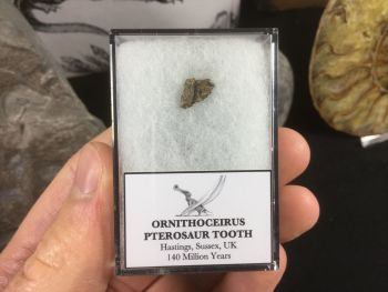 Ornithocheirus Pterosaur Tooth - Sussex, (UK) #08