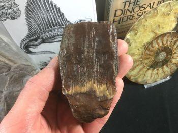Columbian Mammoth Tooth, Florida #01